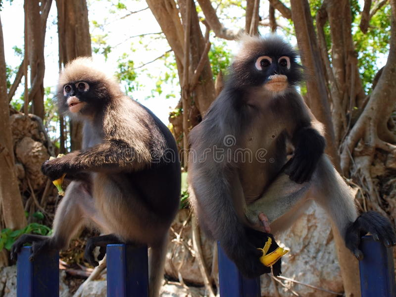 Spectacled langurs je banana (Trachypithecus obscurus) fotografia stock
