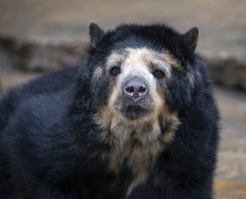 Spectacled niedźwiedź lub Andyjski niedźwiedź obrazy stock