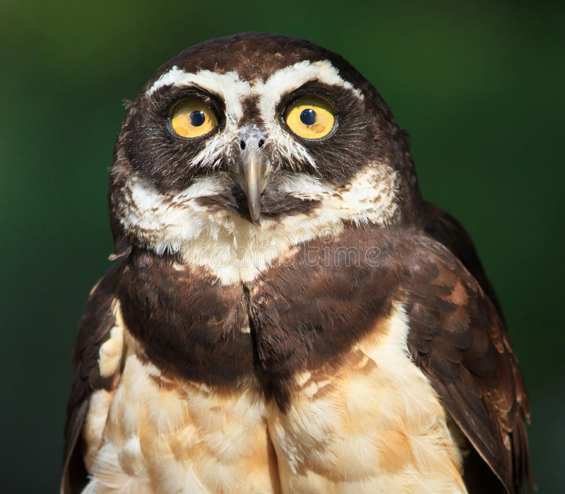 Download Spectacled Owl, Pulsatrix Perspicillata, Close-up Stock Photo - Image: 20638404