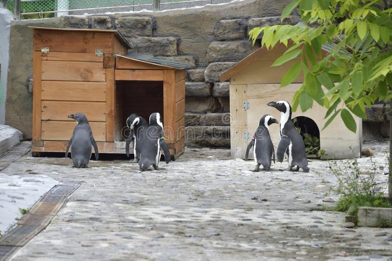 Spectacled penguins. Zoo. Russia. Krasnoyarsk. A friendly family of penguins who created all the conditions for a normal life in captivity. Spectacled penguins stock images