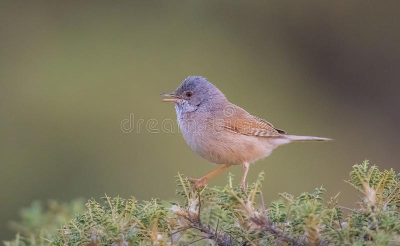 Spectacled warbler (Sylvia conspicillata) is song bird. royalty free stock image