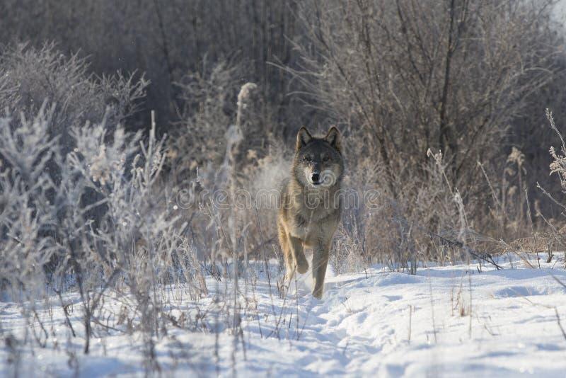 Spectaculair Beeld van wolf in houtbomen stock afbeeldingen