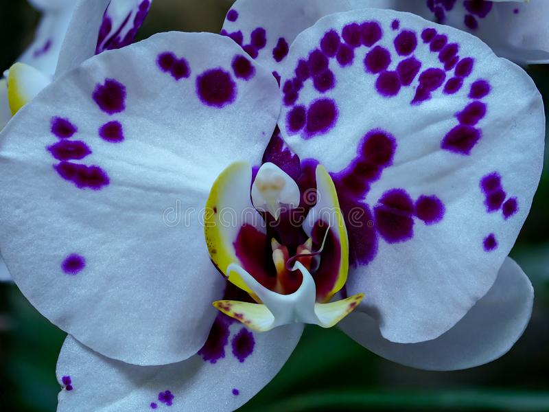 Spectaculair close-up van purple met orchidee royalty-vrije stock afbeelding