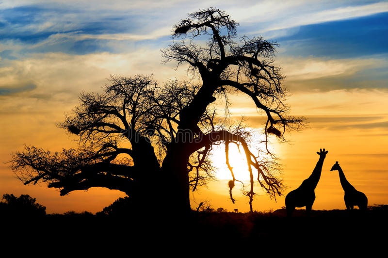 African sunset Baobab Giraffe stock photos