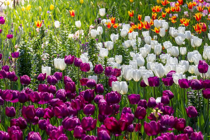 Spectacular bright field of a variety of tulip species stock photos
