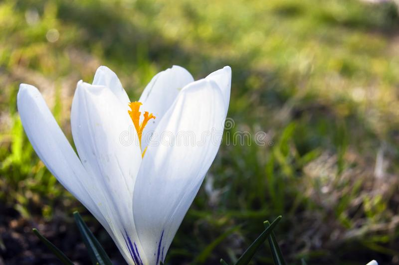 Spectacular, colorful early spring flowers in sunshine in the garden, selective focus, space for text stock image