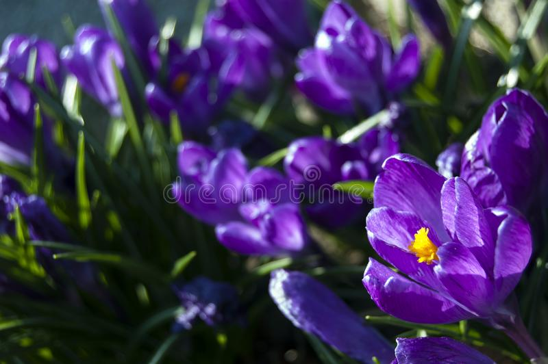 Spectacular, colorful early spring flowers in sunshine in the garden, selective focus, space for text royalty free stock photos