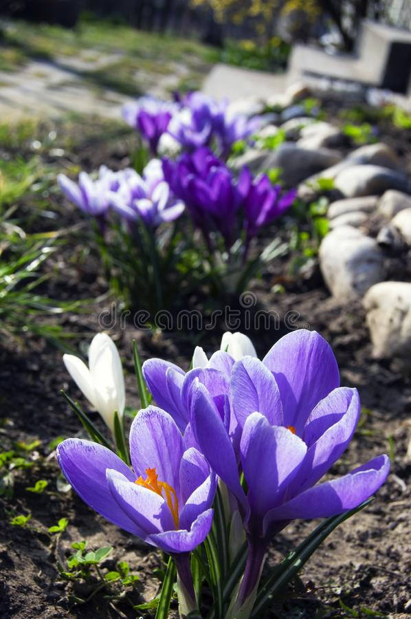Spectacular, colorful early spring flowers in sunshine in the garden, selective focus, space for text royalty free stock photo