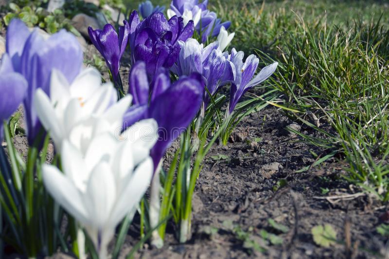 Spectacular, colorful early spring flowers in sunshine in the garden, selective focus, space for text royalty free stock photography