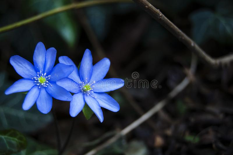 Spectacular, colorful early spring flowers in sunshine in the garden, selective focus, space for text stock photo