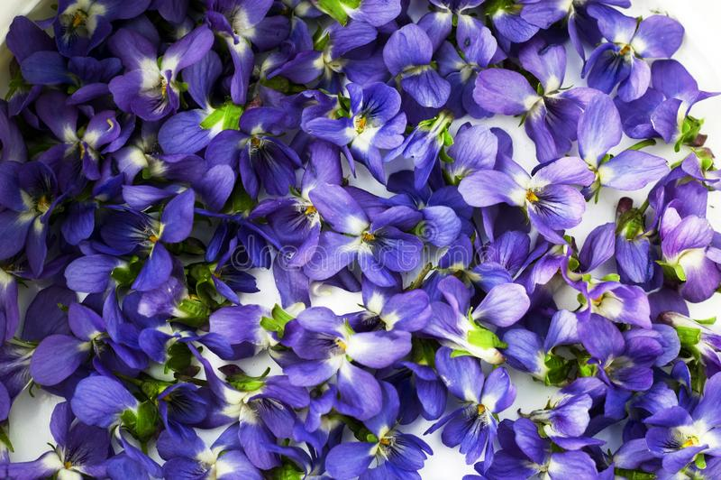 Spectacular, colorful early spring flowers in sunshine in the garden, selective focus, space for text. Spectacular, colorful purple, lilac early spring flowers royalty free stock photos