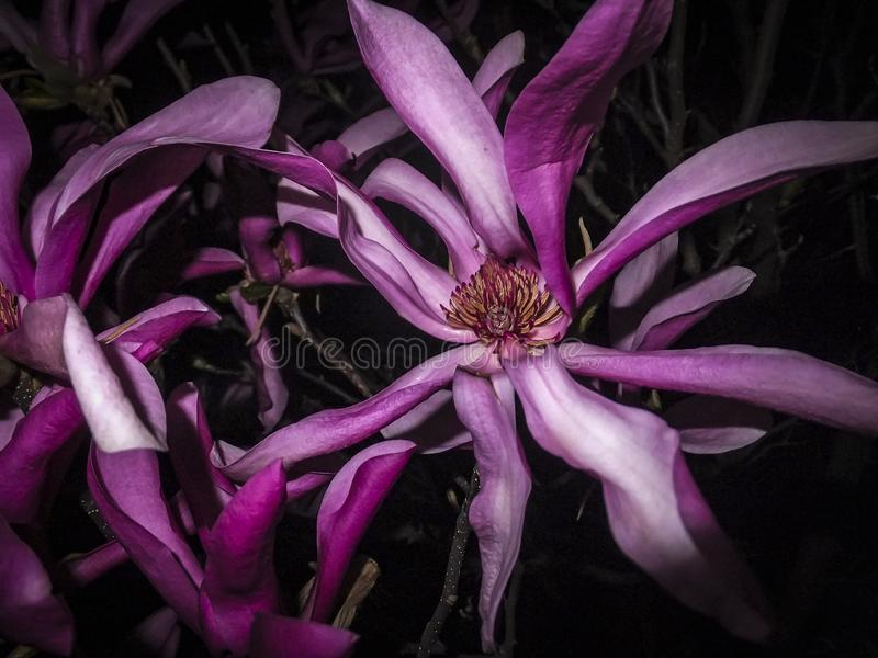 Spectacular dance of the purple magnolia Susan Magnolia liliiflora x Magnolia stellata in the night. Close-up of bright pink mag stock image