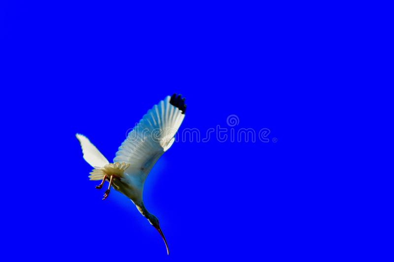 A spectacular dive of an Ibis bird to the ground royalty free stock photos