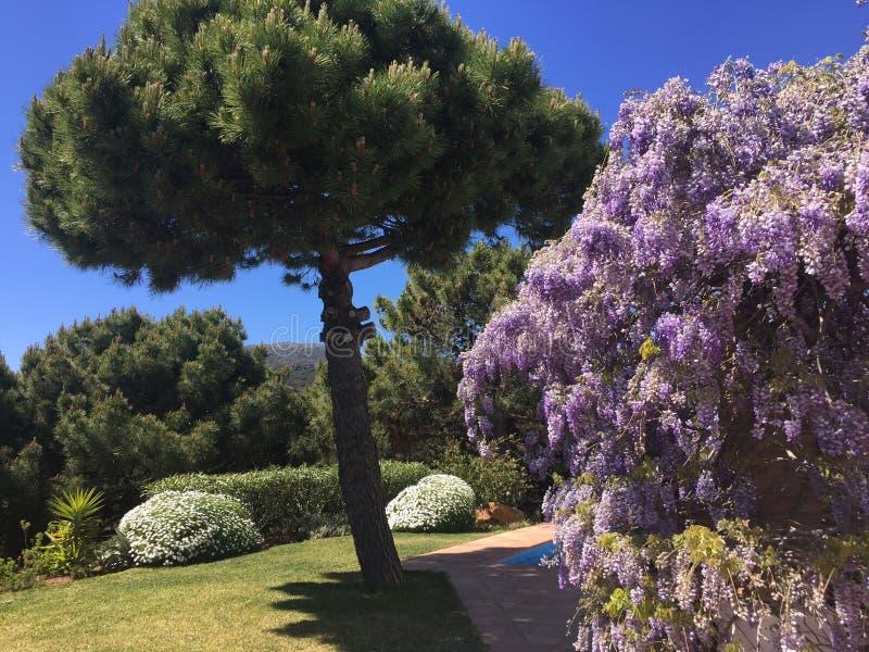 Spectacular Flowering Wisteria stock photos