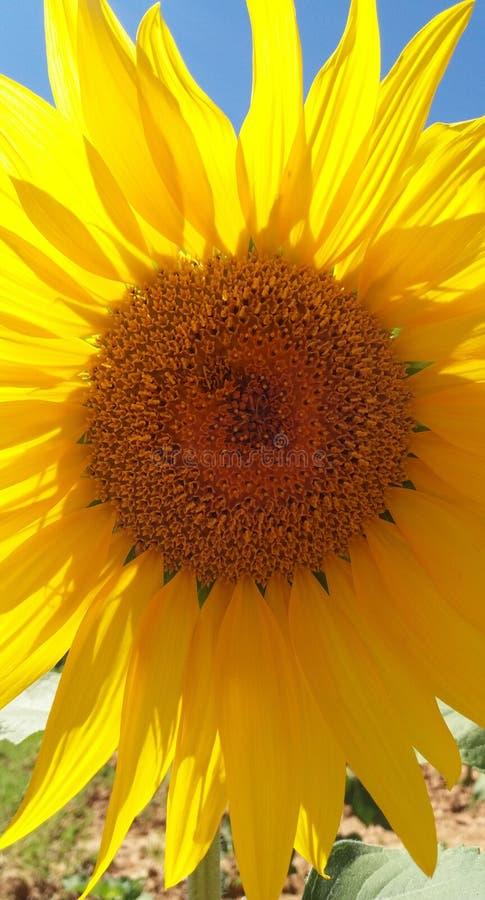 Spectacular sunflower stock image