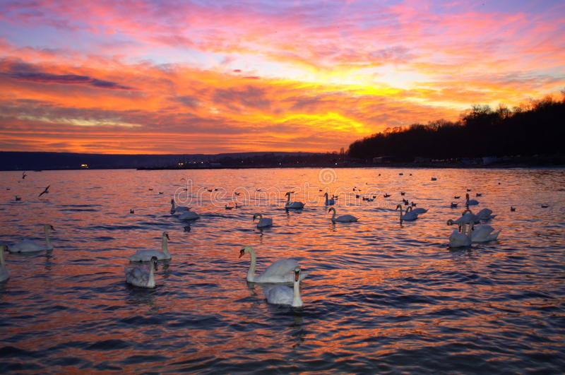 Spectacular sunset sky and swans royalty free stock images