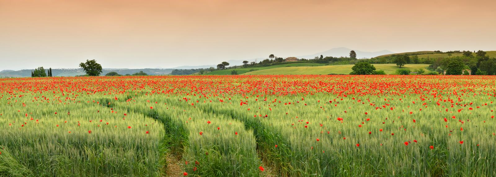Spectacular Tuscany spring landscape with red poppies in a green wheat field, near Monteroni d`Arbia, Siena Tuscany. Italy stock photos