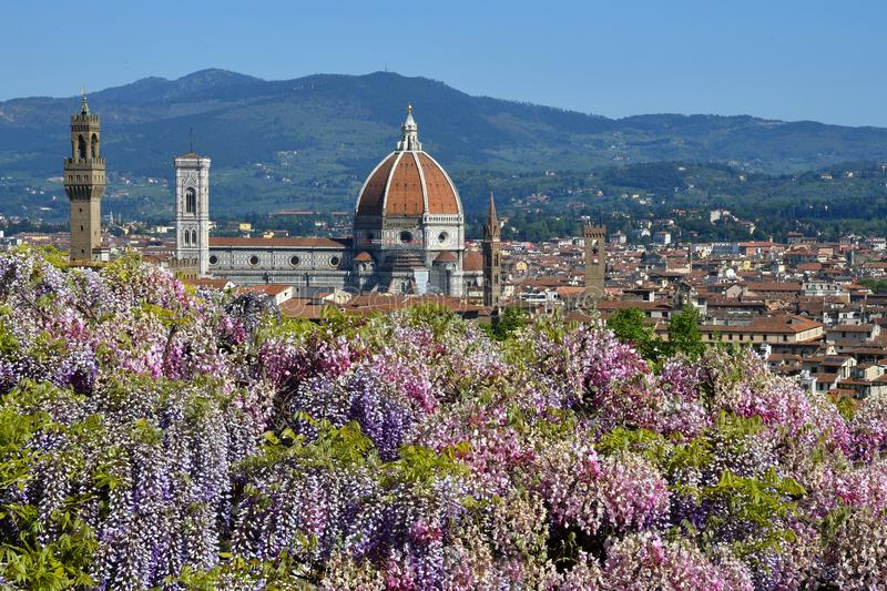 Spectacular view of the Cathedral Santa Maria del Fiore and Giotto`s bell tower in Florence with a purple flowering wisteria. In foreground. Italy stock photography