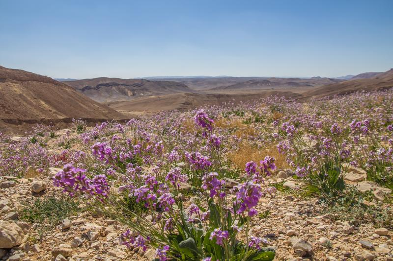 Spectacular wild flower bloom,in a desert landscape at `Makhtesh Ramon` Hebrew - Ramon Crater, in the Negev desert , Israel, stock photos