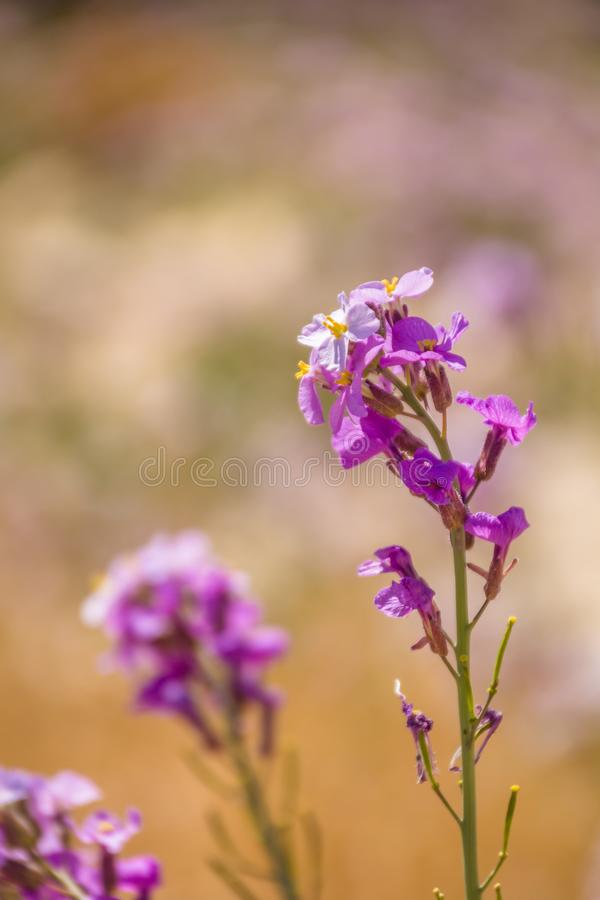 Spectacular wild flower bloom of Diplotaxis acris in the Cruciferae family, in the Negev desert , southern Israel. Spring time royalty free stock image
