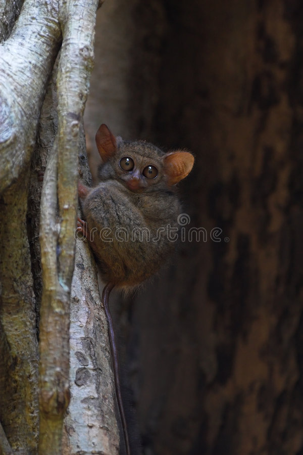 Spectral tarsier stock photo