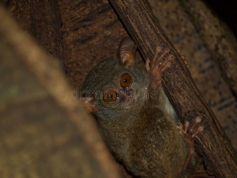 Spectral tarsier in fig tree. A spectral tarsier emerging from its strangler fig home just before dusk. Tangkoko Jungle Reserve, North Sulawesi, Wonderful royalty free stock images