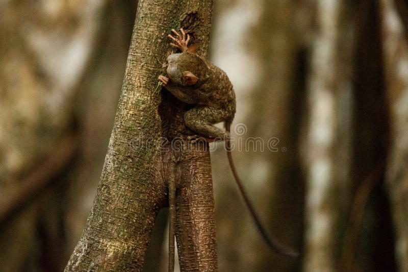Spectral Tarsier, Tarsius, portrait of rare endemic nocturnal mammal trying to catch and eat grasshopper, cute primate in large stock images