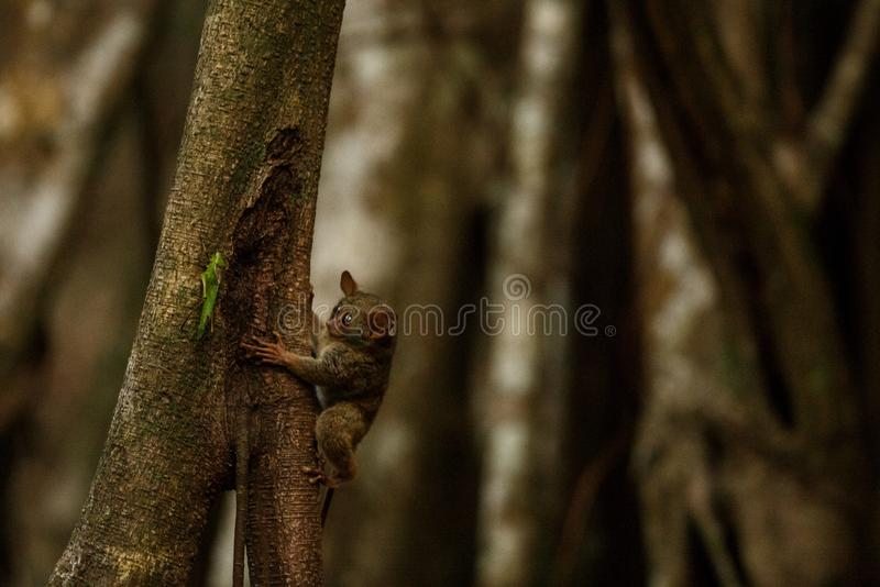 Spectral Tarsier, Tarsius, portrait of rare endemic nocturnal mammal trying to catch and eat grasshopper, cute primate in large royalty free stock photography