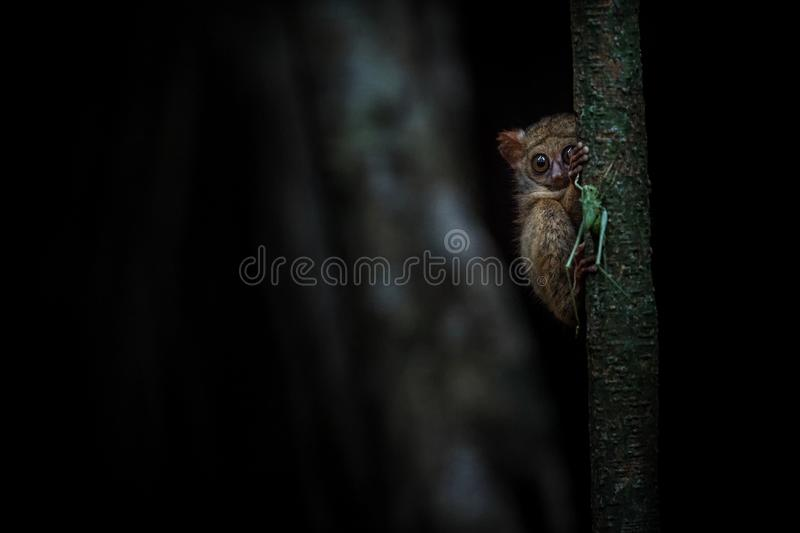 Spectral Tarsier, Tarsius, portrait of rare endemic nocturnal mammal trying to catch and eat grasshopper, cute primate in large stock photos