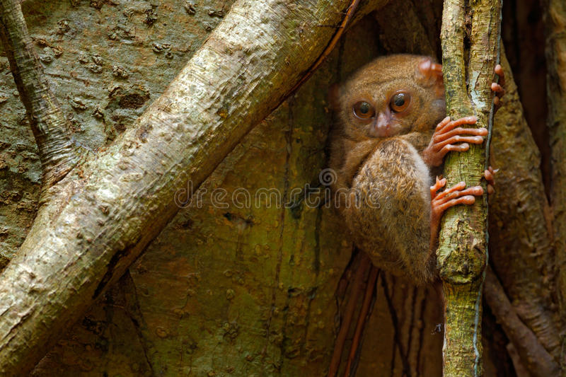 Spectral Tarsier, Tarsius spectrum, hidden portrait of rare nocturnal animal, in the large ficus tree, Tangkoko National Park. Sulawesi, Indonesia royalty free stock photos