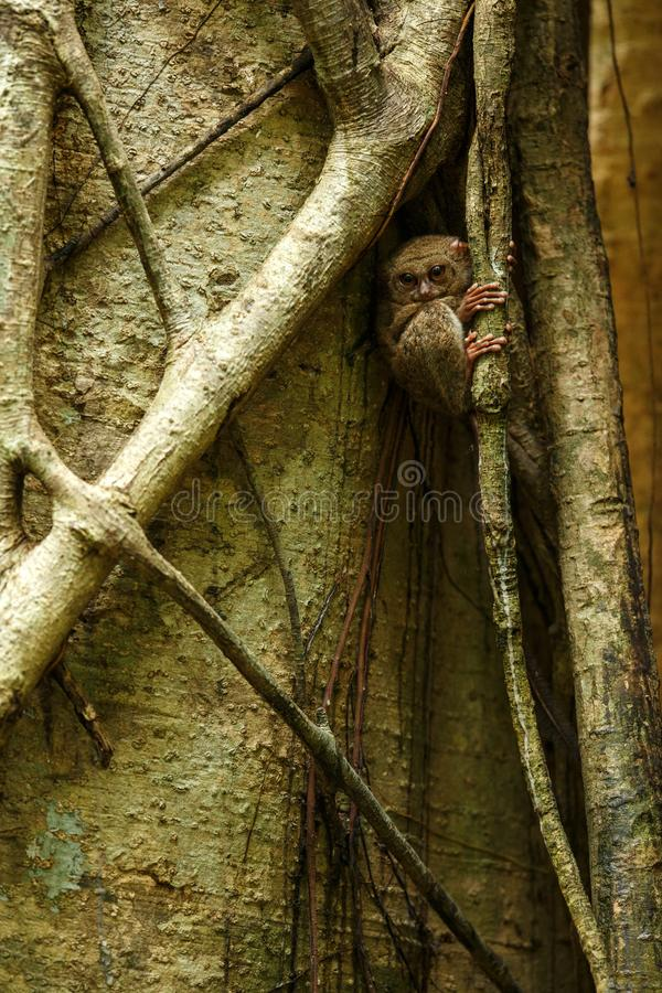Spectral Tarsier, Tarsius spectrum, portrait of rare endemic nocturnal mammals, small cute primate in large ficus tree in jungle, stock image