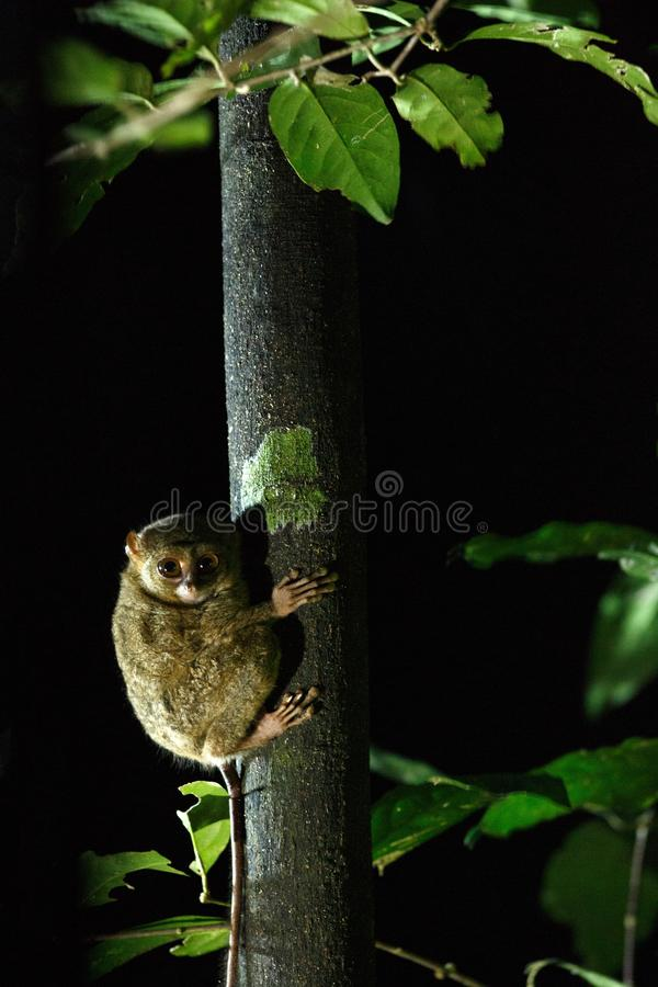 Spectral Tarsier, Tarsius spectrum, portrait of rare endemic nocturnal mammals, small cute primate in large ficus tree in jungle, royalty free stock images