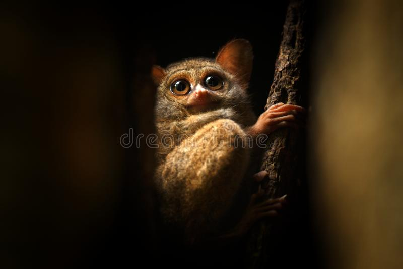 Spectral Tarsier, Tarsius spectrum, portrait of rare endemic nocturnal mammals, small cute primate in large ficus tree in jungle, stock photo