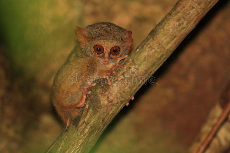 Spectral Tarsier royalty free stock images