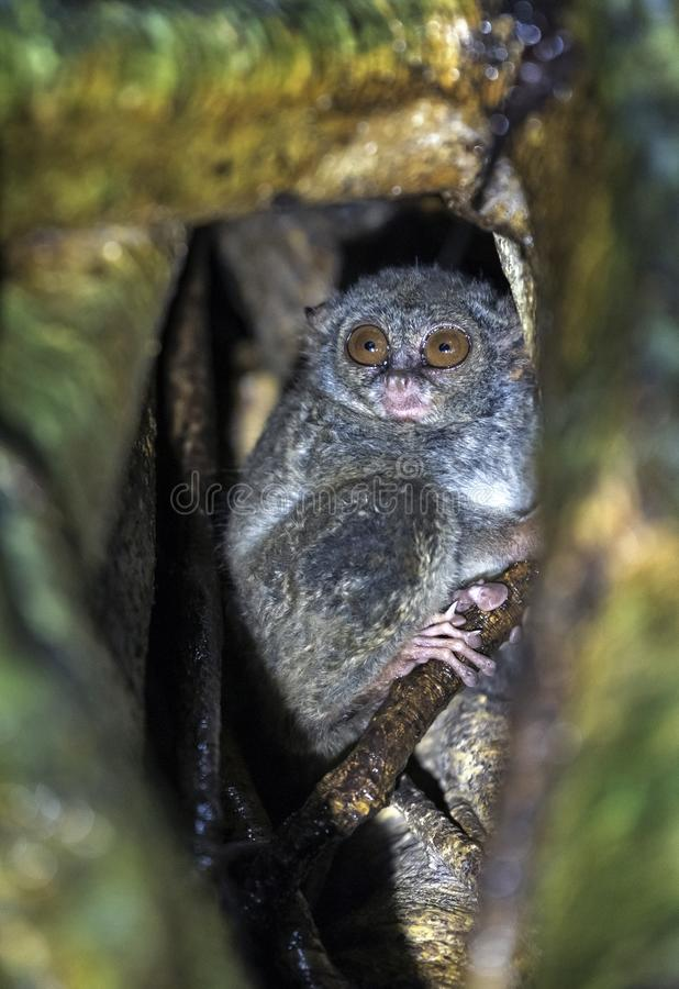 The spectral tarsier on the tree. Scientific name: Tarsius spectrum, also called Tarsius tarsier. royalty free stock photo
