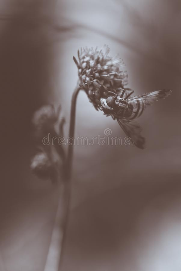 insect bee alone butine on a flower in forest close-up in black and white in summer stock image