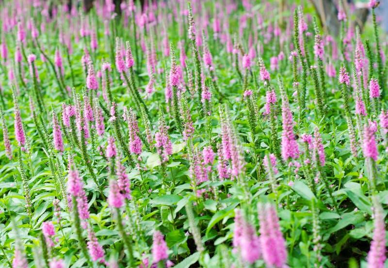 Speedwell claveteado púrpura hermoso fotografía de archivo