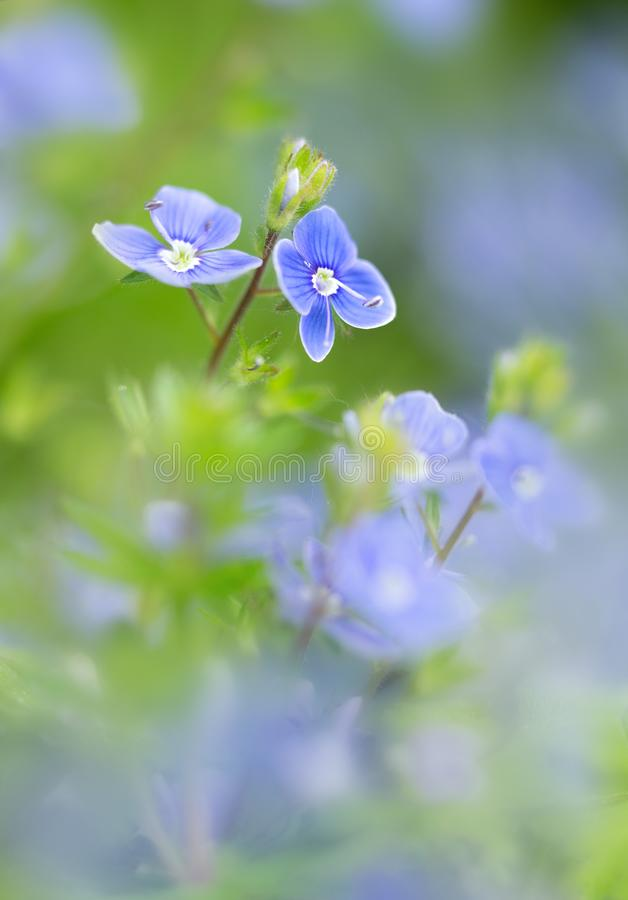 Speedwell flower, veronica officinalis, a  flowering plant family Plantaginaceae. Speedwell, bird`s eye, or gypsyweed. A beautiful small delicate and fragile royalty free stock photos