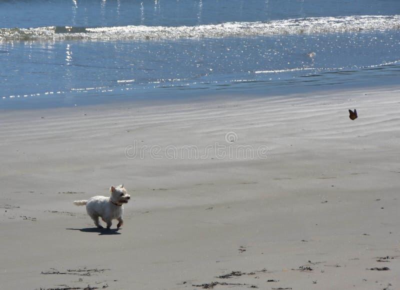 Speelhond op het strand in Maine stock foto's