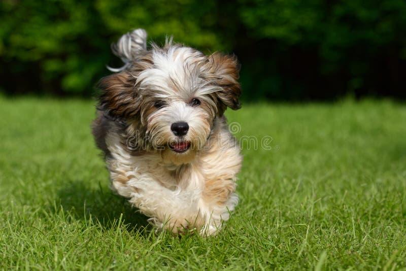 Speels havanese die puppy in het gras in werking wordt gesteld royalty-vrije stock foto