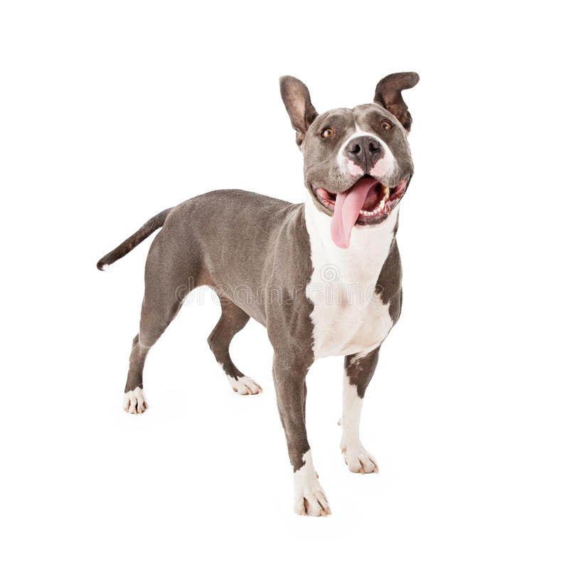 Speels Pit Bull Tongue Out stock afbeeldingen
