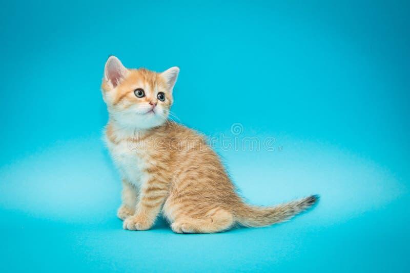 Speels rood katje op een blauwe achtergrond Britse chinchilla Weinig mooie kat Portret van een katje voor reclame royalty-vrije stock fotografie