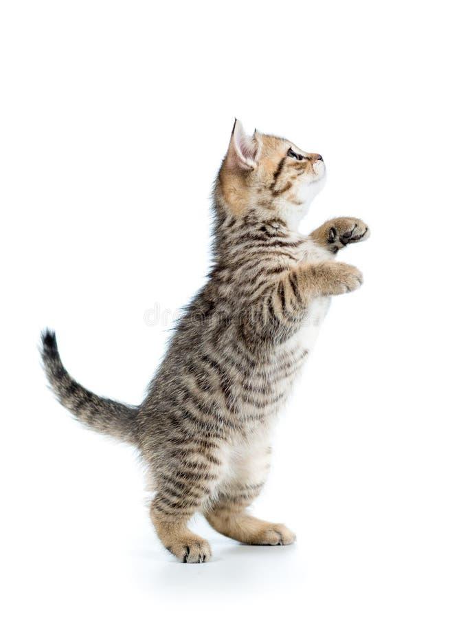 Speels Schots katje die omhoog geïsoleerd kijken stock afbeelding