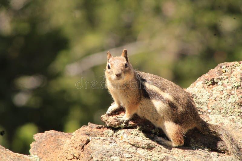 Speelse Aardeekhoorn op de rotsen royalty-vrije stock afbeeldingen
