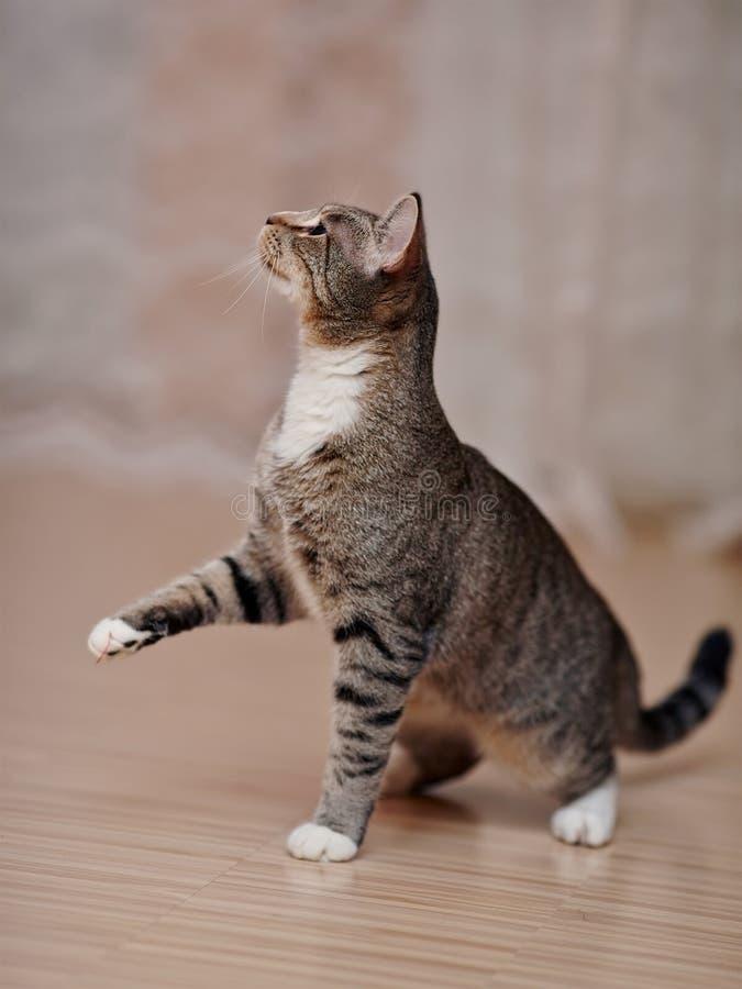 Speelse binnenlandse gestreepte kat op een vloer royalty-vrije stock fotografie
