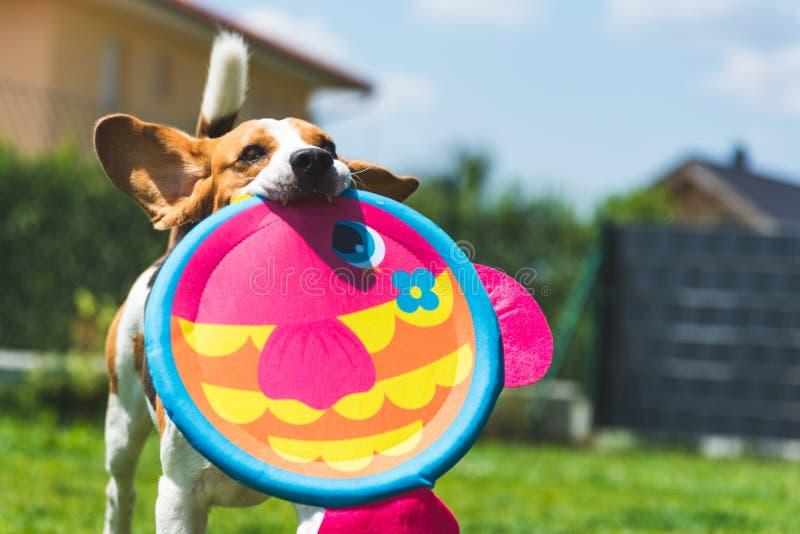 Speelse Brakhond die met ronde kleurrijke vissen zoals stuk speelgoed lopen royalty-vrije stock foto
