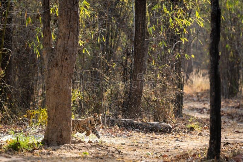 Speelse en het lopen tijgerwelp met waterdruppeltjes en zijn vaderslaap dichtbij waterhole van bos van centraal India, bandhavgar stock foto