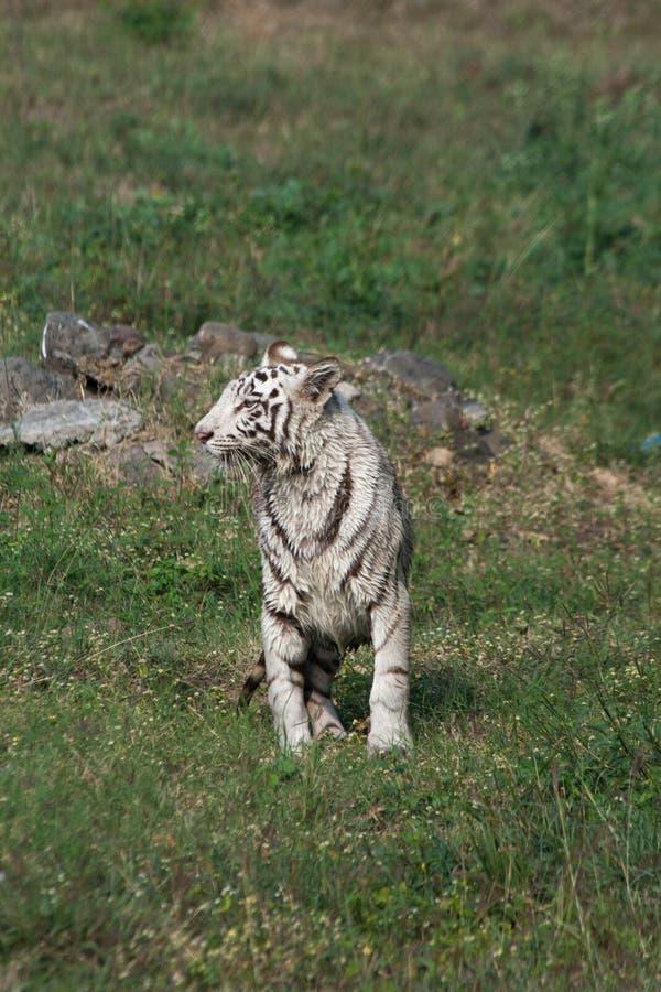 Speelse jonge witte tijgerwelp in India royalty-vrije stock afbeeldingen