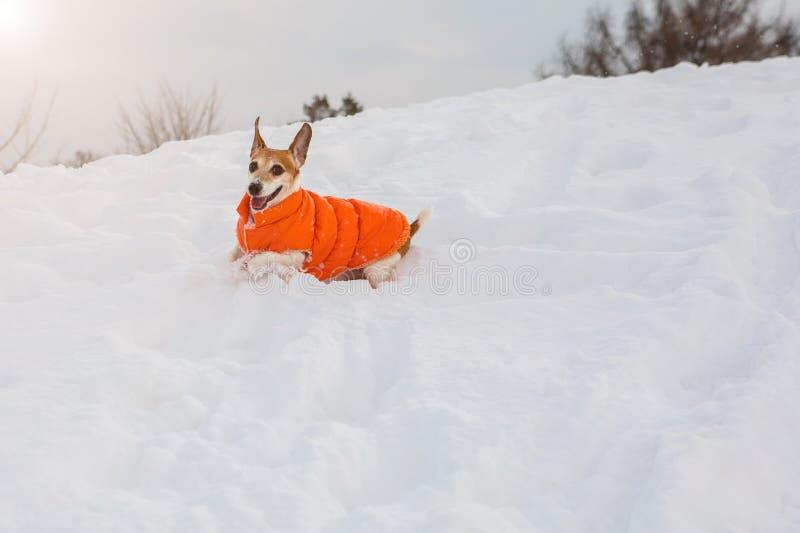 Speelse kleine hondspelen in sneeuw royalty-vrije stock foto