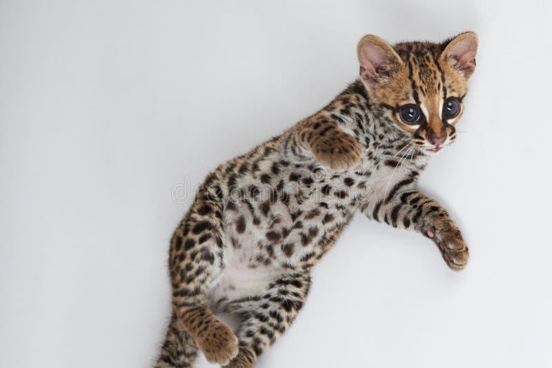 Speelse wilde kat stock afbeeldingen